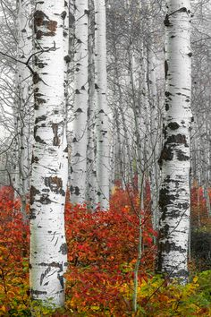 68 Ideas Birch Tree Photos Plants For 2019 Landscape Quilts, Landscape Art, Tree Drawing Simple, Birch Tree Art, White Birch Trees, Tree Artwork, Simple Acrylic Paintings, Aspen Trees, Watercolor Trees