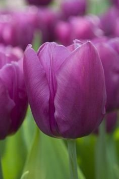 single early tulip 'Purple Flag'