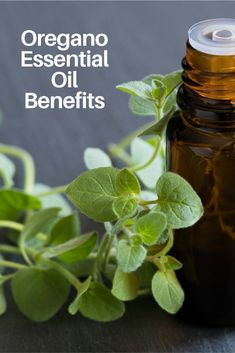 A widely used essential oil, Oregano Essential Oil is a wonderful antioxidant, known for its anti-inflammatory and antibacterial benefits, but that's not all - learn more! Oregano Essential Oil, Best Essential Oils, Essential Oil Uses, Anti Inflammatory Essential Oil, Anti Inflammatory Herbs, Young Living Oregano, Herbs For Depression, Oregano Oil Benefits, Living Oils