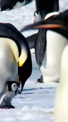 Save Animals, Happy Animals, Cute Funny Animals, Cute Baby Animals, Animals And Pets, Amazing Animal Pictures, Baby Animals Pictures, Penguins And Polar Bears, Cute Penguins