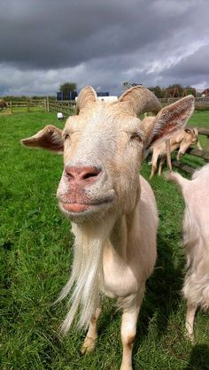 I love goats Dog Life, Goats, Cow, My Love, Photography, Animals, Photograph, Animales, Animaux