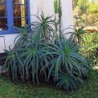 Shrubs, Aloe, Cactus, Succulents, Garden, Plants, Garten, Lawn And Garden, Shrub