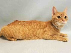 "PRINCESS - A1095028 - - Manhattan  Please Share:***TO BE DESTROYED 11/10/16***BEGINNER ORANGE GIRL ABANDONED DUE TO ""NO TIME"" -  Click for info & Current Status: http://nyccats.urgentpodr.org/princess-a1095028/"