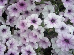 200 Petunia TIDAL WAVE SILVER Trailing/Spreading Live Plants Plugs Planters 619 #BountifulPlants