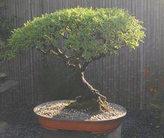 36 Year old Acacia Karoo bonsai Bonsai Plants, Bonsai Garden, Bonsai Trees, Tamarind, Small Trees, Sardinia, Live Plants, Acacia, Bouquets