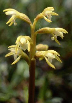 Coralroot Orchid - In situ Fife, Scotland