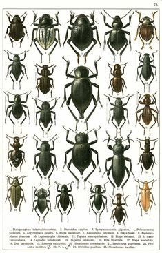 """G.G. Yakobson (1905-1915) - """"Beetles of Russia"""": table 75"""