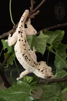 Dalmation Crested Gecko | patternless crested gecko showing a higher density of dalmation ...