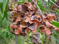 Wattle ear pods