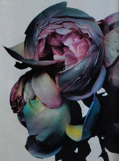 Paeonia // think this would make great watercolor inspiration!