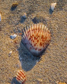 Calico scallop shell, San Diego, California