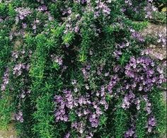 Grow Trailing Rosemary Plants. Has green pointy leaves that are rich in aromatic oils and the foliage has a pine-like fragrance. Small, pale blue to white flowers appear along its branches seasonally.  Beautiful draping over a rock wall or cascading from