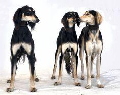http://IndagoDogPhotography.co.uk  Saluki trio - gorgeous elegant dogs!