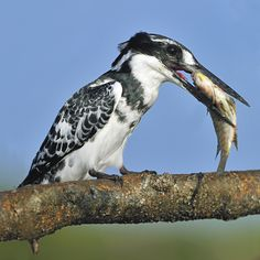 Pied Kingfisher Breakfast