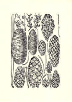 VANESSA: scientific illustration of different pine cones