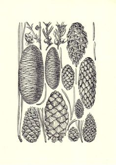 pictures of different pinecones
