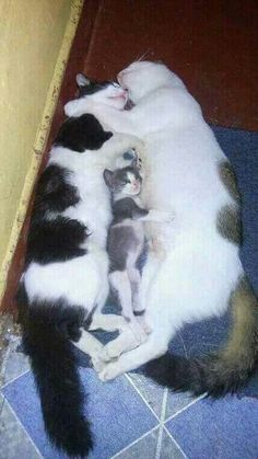 Family Cute Funny Animals, Cute Baby Animals, Animals And Pets, Funny Cats, Llamas Animal, Gato Animal, Cute Cats And Kittens, I Love Cats, Crazy Cats