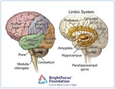 left brain, the major lobes (frontal, parietal, temporal and occipital) and the brain stem structures (pons, medulla oblongata and cerebellum). right brain, limbic system (the fornix, hippocampus, cingulate gyrus, amygdala, the parahippocampal gyrus and parts of the thalamus) delishhhh!