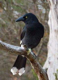 Pied Currawong (Strepera graculina) - The Pied Currawong (Strepera graculina) is a medium-large songbird found in eastern Australia and on Lord Howe Island. Australian Bush, Australian Birds, Beautiful Birds, Animals Beautiful, Sound Installation, Native Australians, Airlie Beach, State Forest, Wild Birds