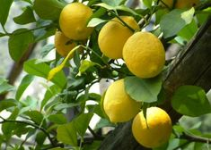 Enzo Montano: Ode al limone - Pablo Neruda Fruit And Veg, Fruits And Vegetables, Fresh Fruit, Fruit Photography, Beautiful Fruits, Limoncello, Delicious Fruit, Fruit Garden, Lemon Recipes