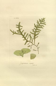 v. 2 - Musci exotici : - Biodiversity Heritage Library