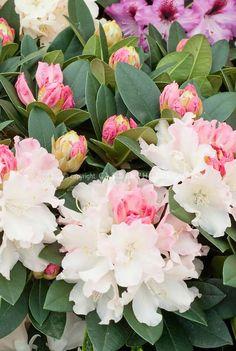 Bonsai Garden, Garden Trees, Garden Plants, Flowering Shrubs, Trees And Shrubs, Trees To Plant, Azalea Shrub, Pot Jardin, Woodland Garden