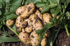 The Curative Properties of Potatoes.  http://www.offthegridnews.com/alternative-health/curative-properties-of-the-potato/