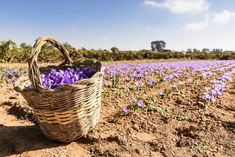 Saffron carries a high entry cost, but in subsequent years this crop with three marketable elements can provide a big profit margin. Growing Saffron, Milk Crates, Top Soil, Garden Shop, Organic Matter, Hobby Farms, Compost, House Plants, Flower Pots