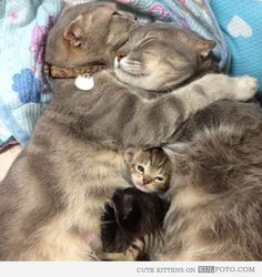 Family - Cute and funny kitten sleeping between hugging cat mom and dad.