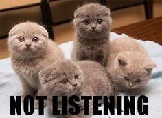 scottish fold kittens ;)
