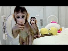 China scientists create first monkey clones Peta, Primates, Water Deer, Deer Skulls, Skull And Bones, Sheep, Science, Animals, Experiment