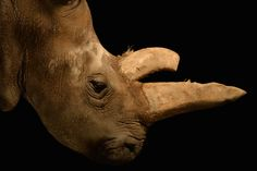 The northern white rhino Nabir�, a 32-year-old female at the Dv%u016Fr Kr�lov� Zoo, died on July 27, 2015. Today, there are only three rhinos of this subspecies left. Saving them, means thet humans evolutioned once more time...