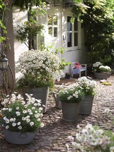 Pots of White Daisies in a Cobbled Stone Courtyard