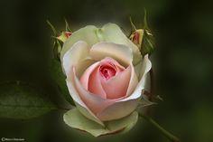 Una rosa (rosa #19) dedicata ad un'amica che lotta contro il cancro!