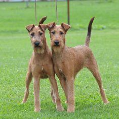 Fardarrigh Irish Terriers – News 2010 Irish Terrier, Boston Terrier Dog, Terrier Dogs, Terriers, Wire Haired Terrier, Wire Fox Terrier, Scottish Deerhound, Pregnant Dog, St Bernard Dogs