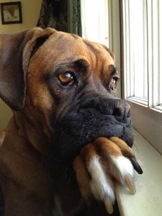 Owner of this dog says: This is my handsome Boxer, Charlie. He's super handsome and pretty dignified as well.