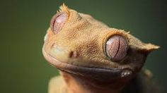 lizard eyes - Google Search
