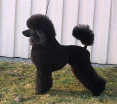 Toilette 60 poodle clip, with long ears and tail