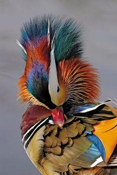 Russ Burden got this shot of a Mandarin duck in Colorado.