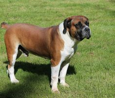 Since 2007, we at Bandera Boerboels have bred for strength, size and balanced temperament while preserving the working dog qualities of the Boerboel.