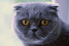 Blue Scottish Fold! The only kind of cat I would ever want to have.