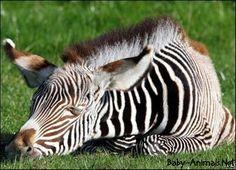 Newsround - In pics: Baby zebra enjoys the sun! Zebra Tattoos, Zebra Pictures, Baby Animals, Cute Animals, Baby Zebra, Enjoying The Sun, Cute Creatures, Cute Babies, Horses