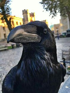 One of the Tower of London Ravens.