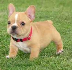 Next puppy I get with be a frenchie just like this one!