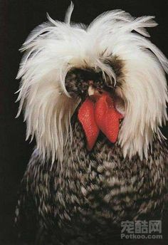 A Polish non-bearded, white-crested cuckoo cockerel from a book of extraordinary chickens by Stephen Green-Armytage. Fancy Chickens, Chickens And Roosters, Pet Chickens, Raising Chickens, Chickens Backyard, Raising Goats, Beautiful Chickens, Beautiful Birds, Animals Beautiful