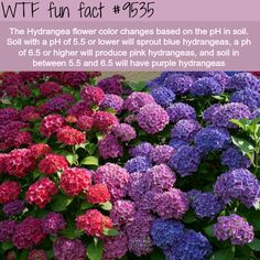 Design Jardin, Hydrangea Flower, Purple Hydrangeas, Climbing Hydrangea, Hydrangea Colors, Hydrangea Garden, Wtf Fun Facts, Funny Weird Facts, Random Facts
