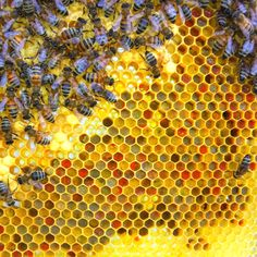 Honeybees and their multi colored pollen stores