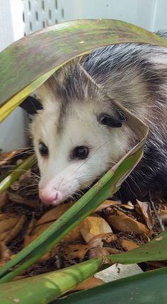 Lucky the opossum