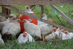 With a big collective exhale we are happy to announce that the 2011 pastured chicken season (throug...