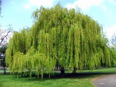 Huge, sweeping and romantic, the white willow is a typical weeping willow. Spot it at riversides with leaves draped in the water where it feeds and shelters native wildlife. All willows were seen as trees of celebration in biblical times, but this changed over time and today willows are more associated with sadness and mourning. Willow is often referred to in poetry in this way, and is depicted as such in Shakespeare's Hamlet, with Ophelia drowning near a willow tree. Info: Woodland Trust Weeping Willow, Willow Tree, Garden Trees, Lawn And Garden, Backyard Trees, Sauce Arbol, Types Of Soil, Soil Type, Gardens